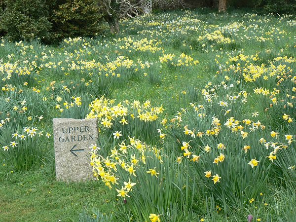 Cotehele daffodils